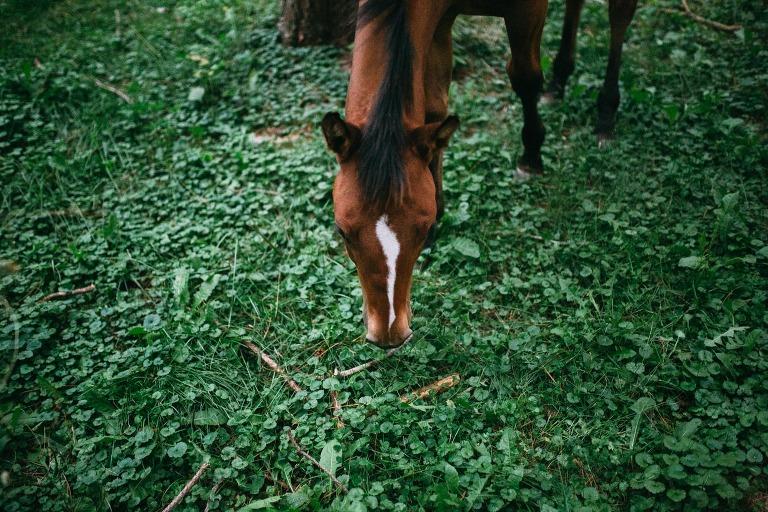 cheval broutant de l'herbe